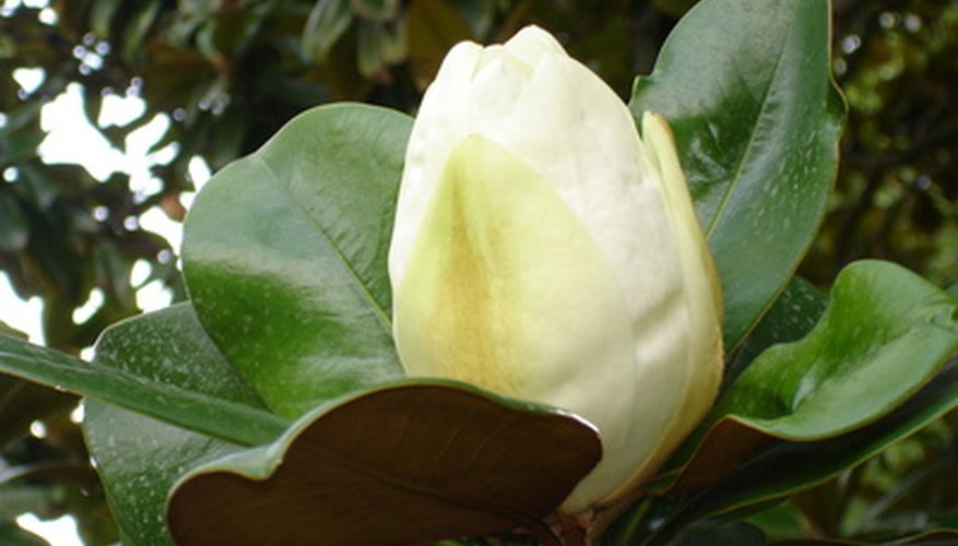 Magnolias are noted for their waxy green foliage and creamy white blossoms.
