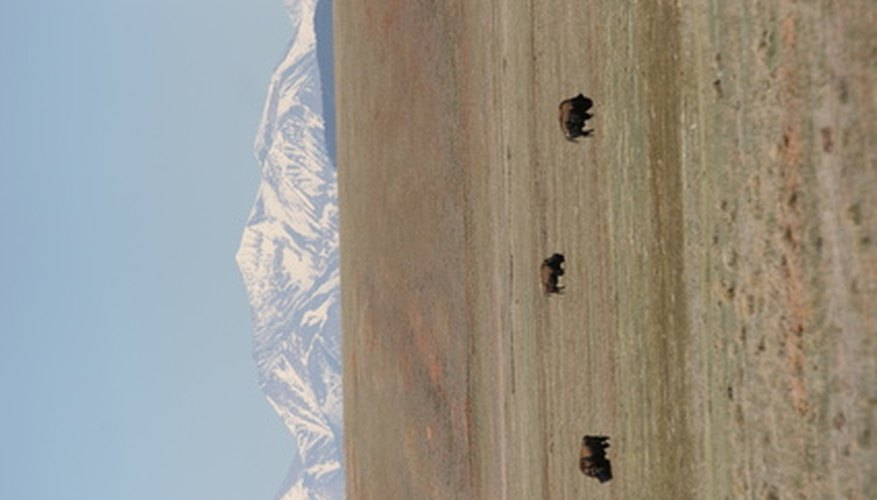 Buffalo grass sustained the large herds of buffalo throughout the Great Plains.