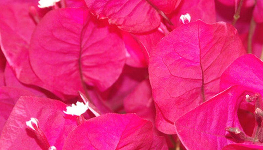 Hot pink bougainvilla bracts surrounding white flowers