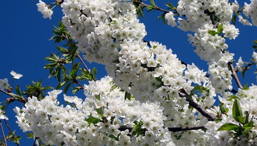 The sweet scent of sand cherry shrubs enhances any landscape.