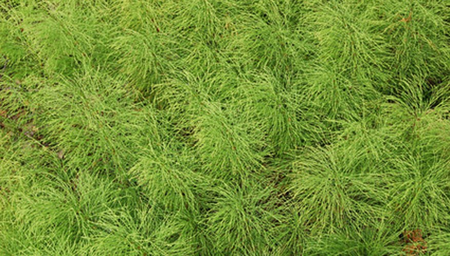 Horsetail weed can quickly become a significant problem.