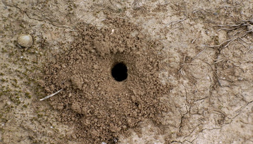 Ant nest in soil.