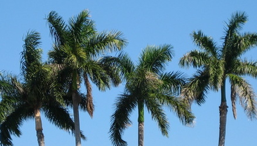 A palm tree growing business can be very lucrative if ventured into carefully.