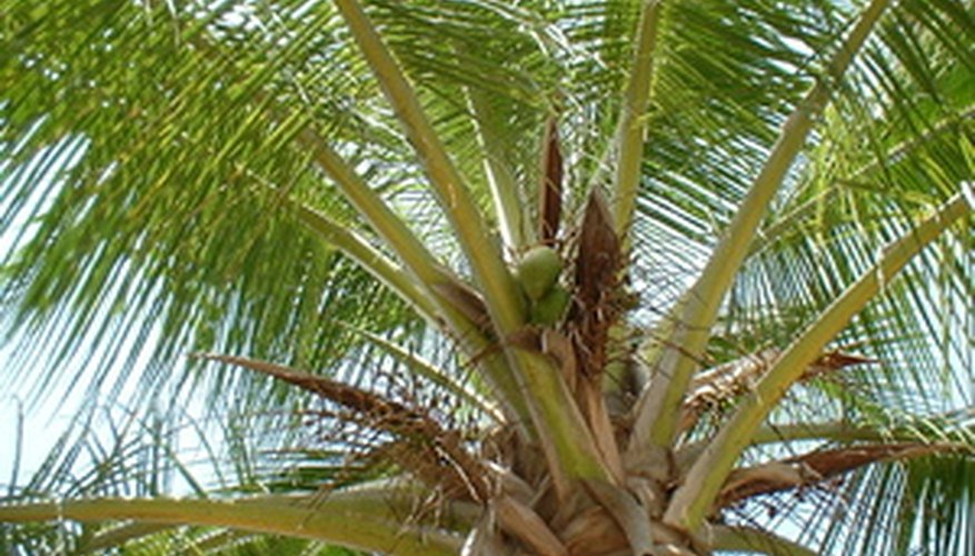 Coconut palm crown