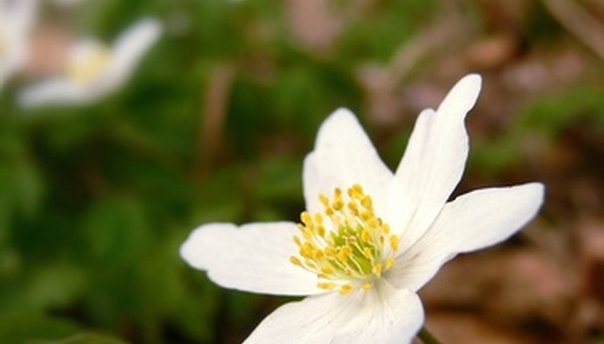 The anemone flower is also called a windflower for its habit of dispersing seeds by wind.