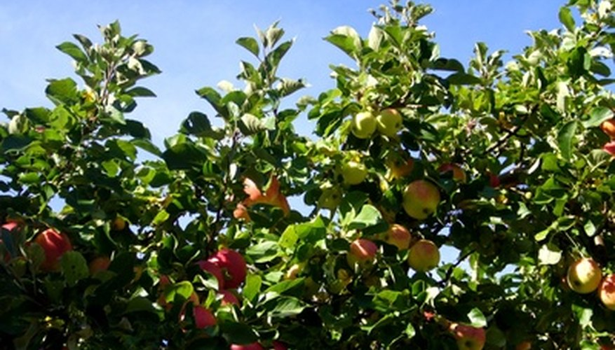 Apple trees may suffer from a variety of insect infestations.