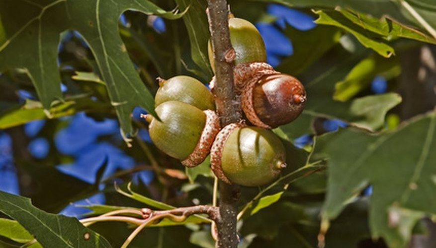 You can use the size and shape of acorns to identify Virginia's oaks.