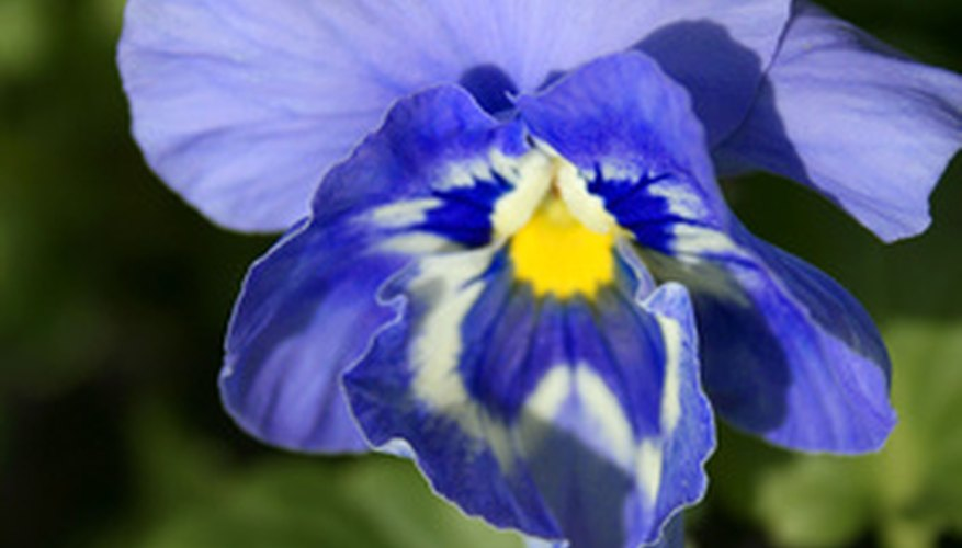 Large-flowered and colorful, many pansies are winter hardy.