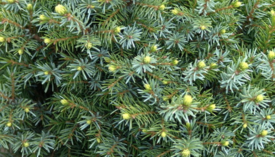 Pick fresh evergreens for wreath making.