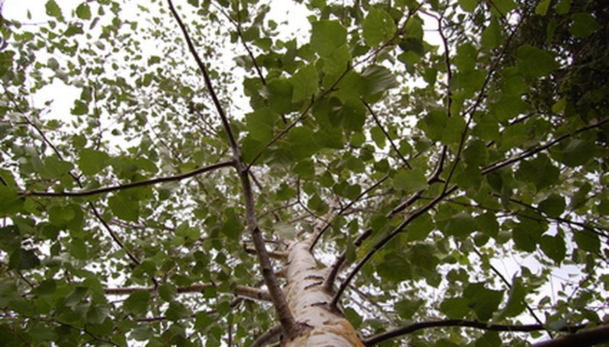 A mature ash tree can be 80 to 120 feet in height.