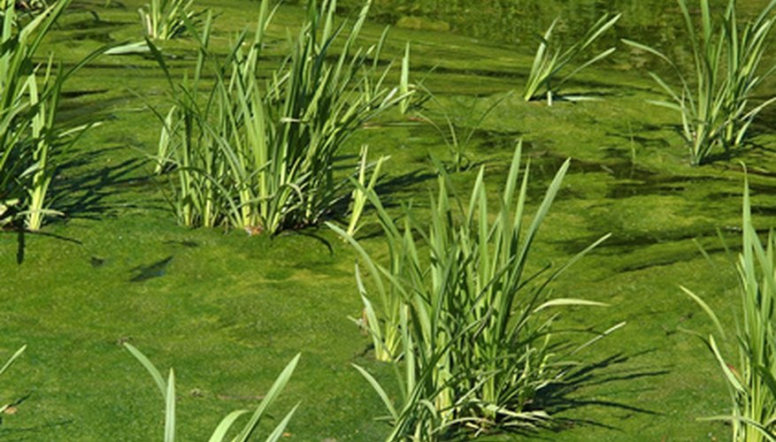 Phosphorus in water runoff is said to promote excessive growth of algae in ponds and lakes.