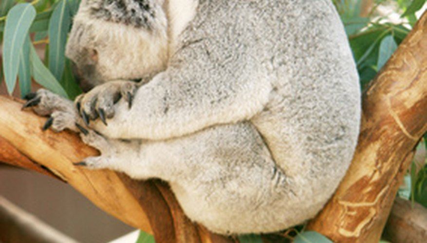 Eucalyptus leaves are the favorite food of the koala.