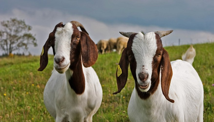 Goat Farming Grants | Bizfluent
