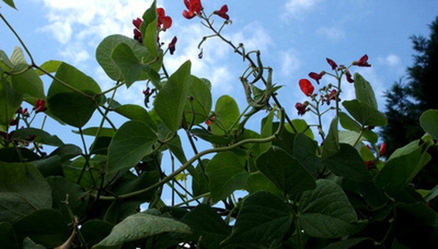 Runner beans require supports so that they can climb easily.