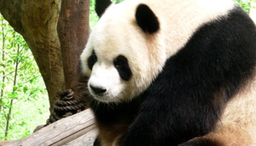Existen pandas gigantes viviendo en zoológicos y reservas naturales en todo el mundo.