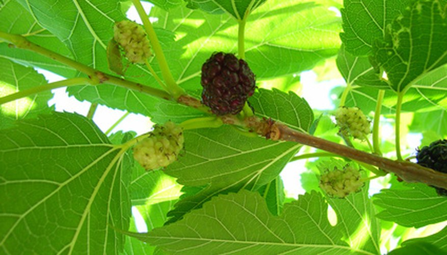 Ripe and unripe mulberry tree fruits