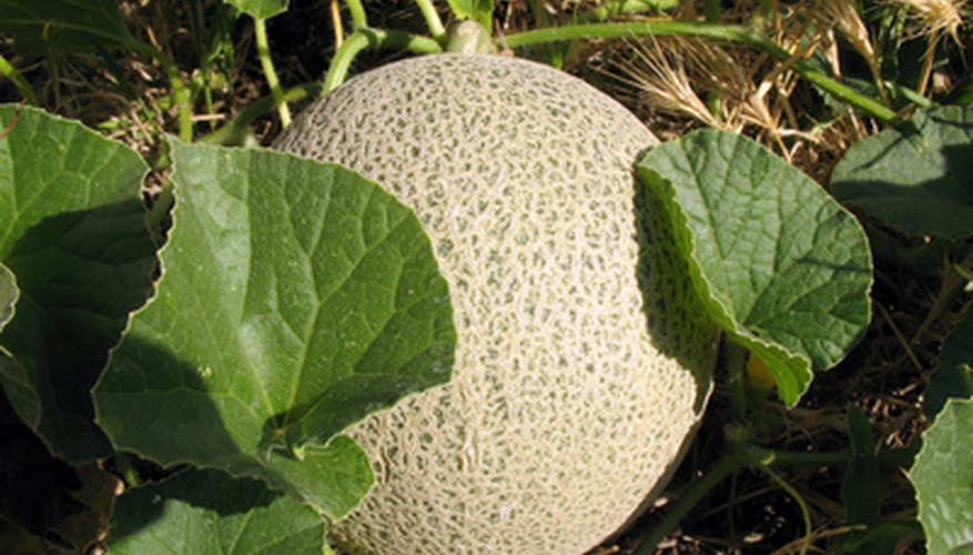 Cantaloupe grows best in full sun.