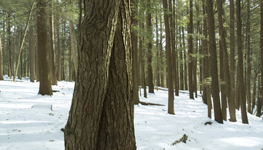 Hemlock forests can withstand a great deal, but a few specific diseases can destroy these trees.