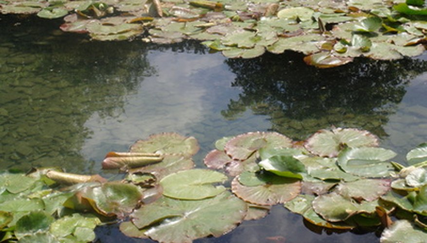 Keep the pond clean for the health of the fish and the plants.
