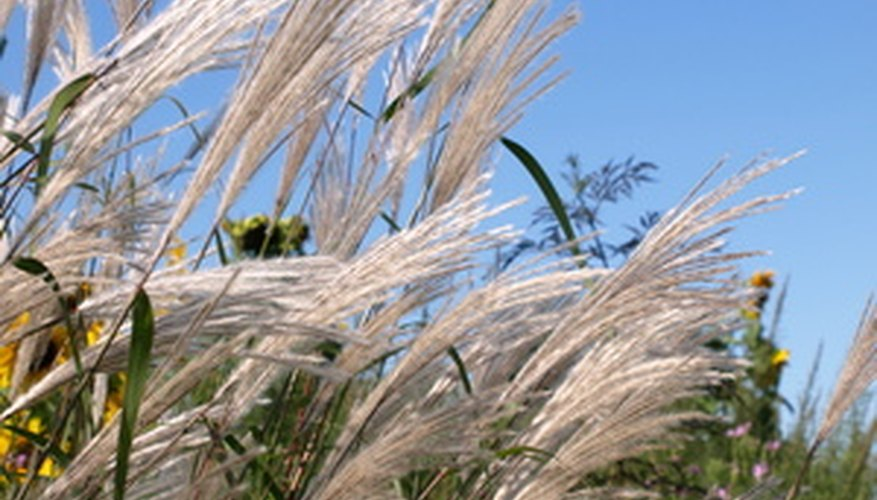 Pampas grass is considered both the king of ornamental grass and an invasive species.