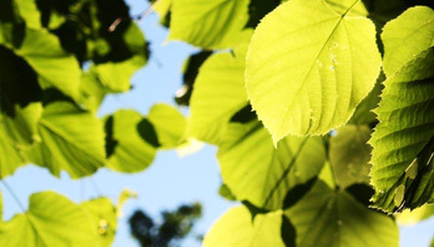 Linden trees are also called basswoods or limes, depending if you're in North America or Europe.