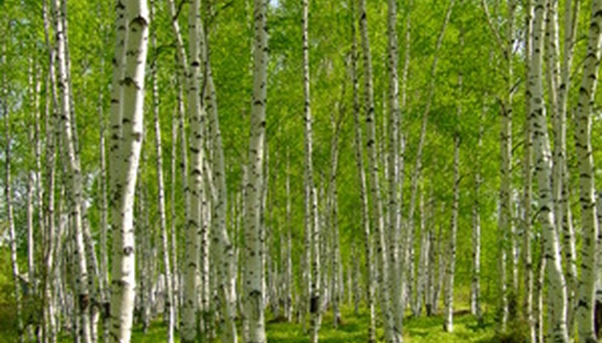 Birch leaves are green in summer and yellow in fall.