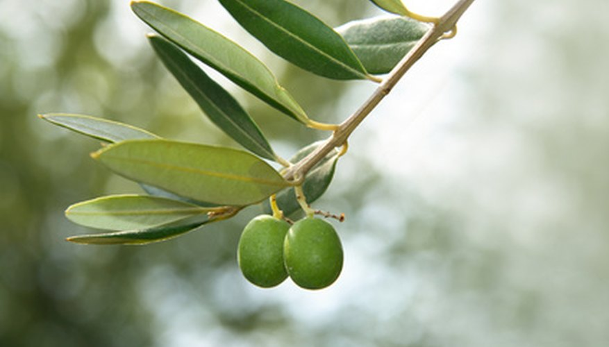 Olives on a healthy tree
