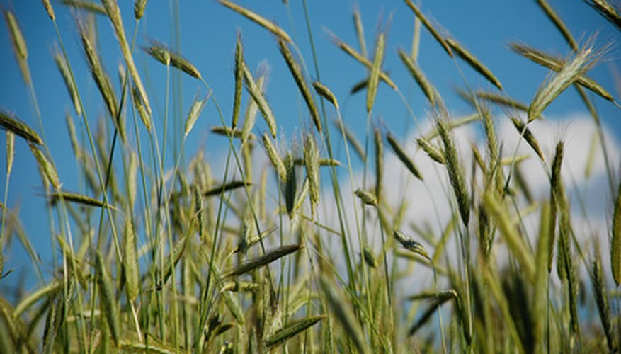 Monocot rye grass is an important food crop.