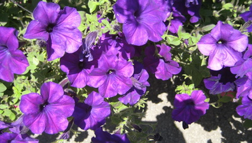 Purple petunias in a small garden
