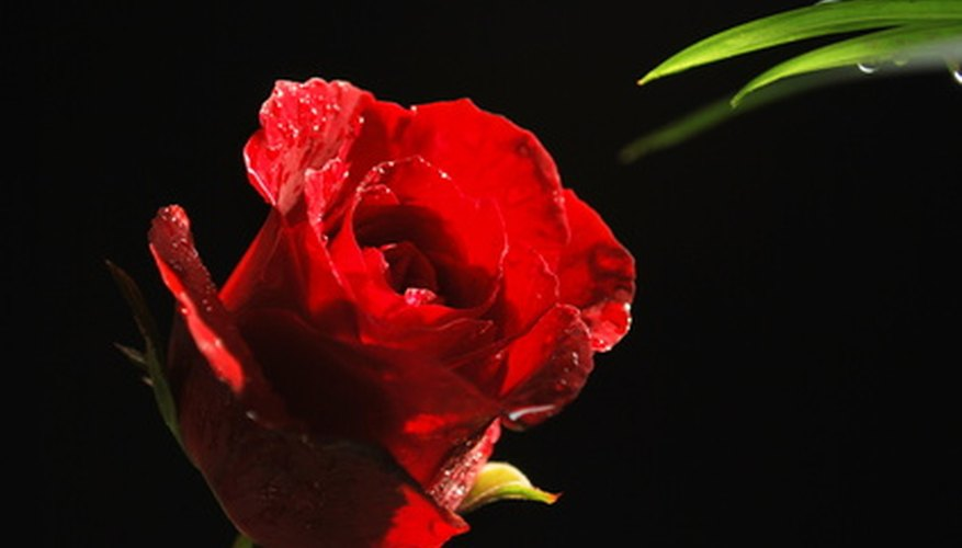 A red rose is the symbol of love.
