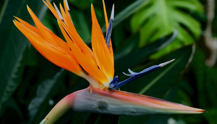 The bird of paradise plant blooms during the spring and summer months.