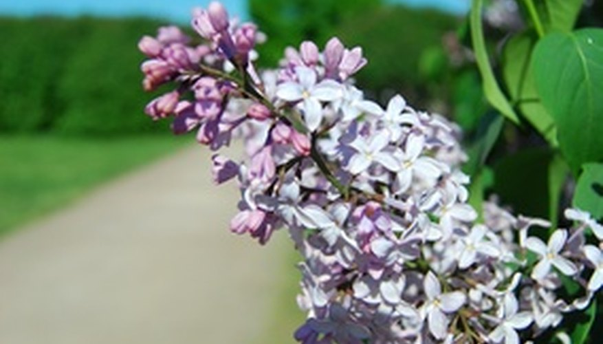 Lilac shrub in bloom