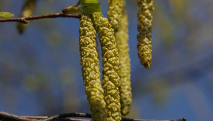 Birches produce catkin flowers in spring before their leaves emerge.