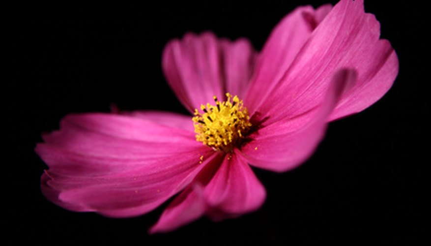 Cosmos are one of the easiest flowers to grow.