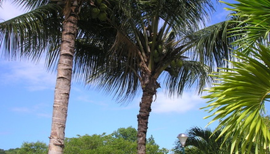 Coconut palms add a tropical touch to your landscape.