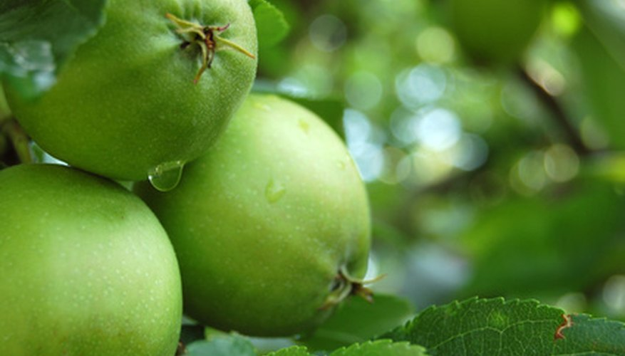 "Developing ""adolescent-aged"" apples in late summer."
