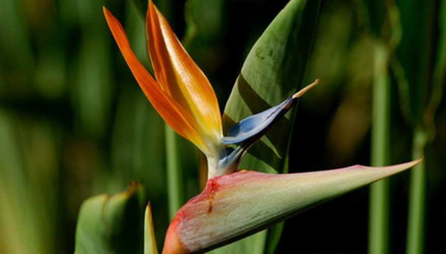 Bring the tropics indoors with an exotic bird of paradise plant.