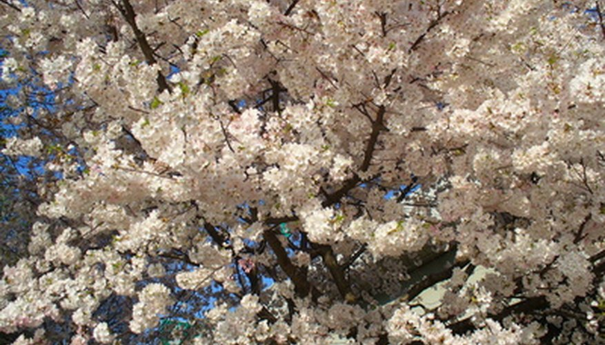 Flowering crab tree are susceptible to a variety of diseases.
