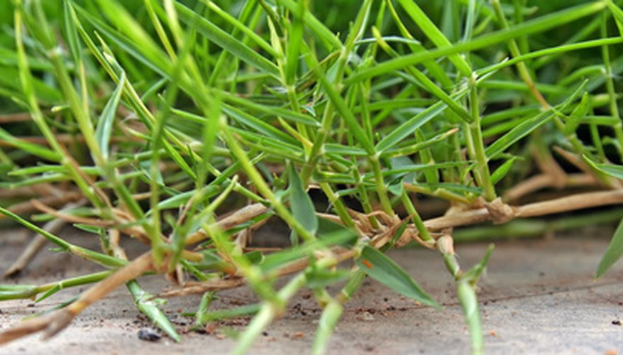Carpet grass is a spreading turf grass.