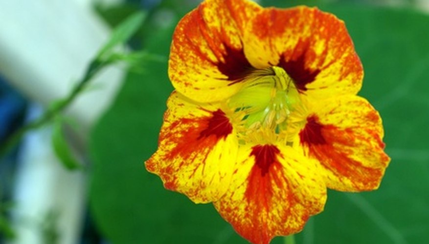 Dwarf nasturtiums come in a range of interesting color combinations.