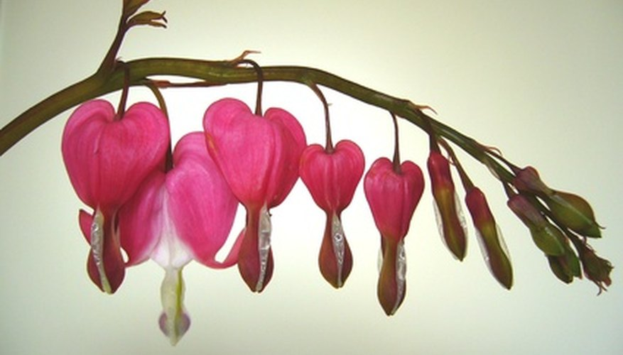 Bleeding heart flowers grow in clusters.