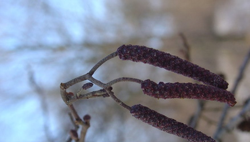 Deciduous trees may Have cone-like catkins.