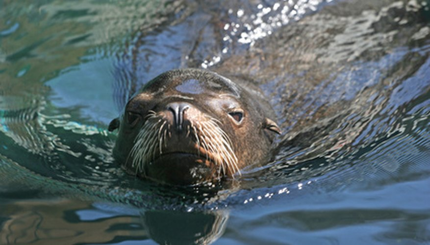 Sea lions display many adaptations for life in the ocean.