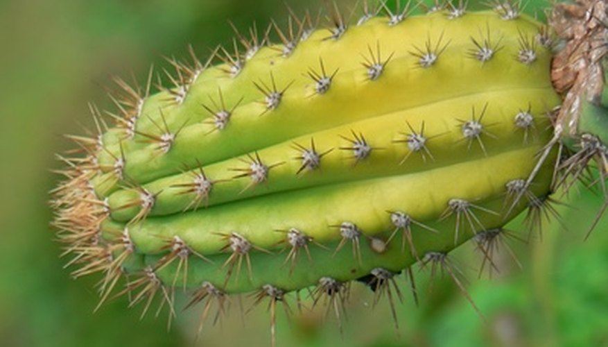 Cacti are sturdy, hardy plants that can survive in arid climates.