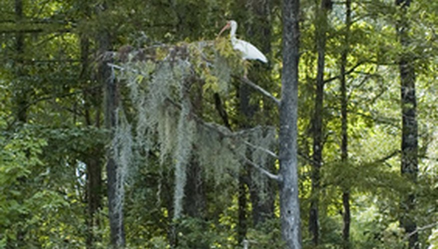 Cypress trees are often home to wildlife such as whooping cranes.