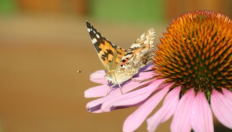 Echinacea attracts butterflies to the garden.