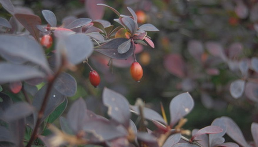 Berberis Darwinii shrub in fruit.