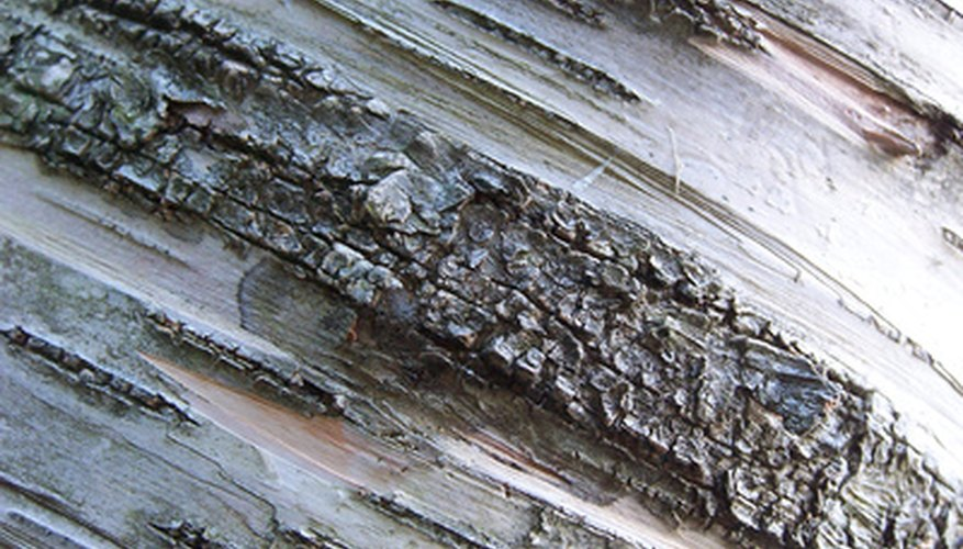 The bark of birch trees differs between species