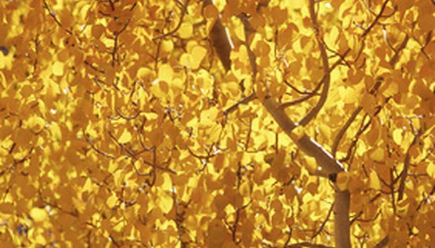 Quaking aspens change golden in the fall.