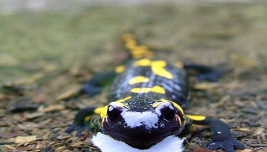 There are more than 400 known salamander species still in existence.
